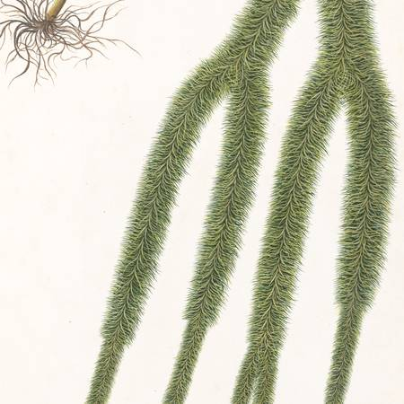 Manu Lall_A Clubmoss_© Copyright The Board of Trustees of the Royal Botanic Gardens, Kew_small.jpg