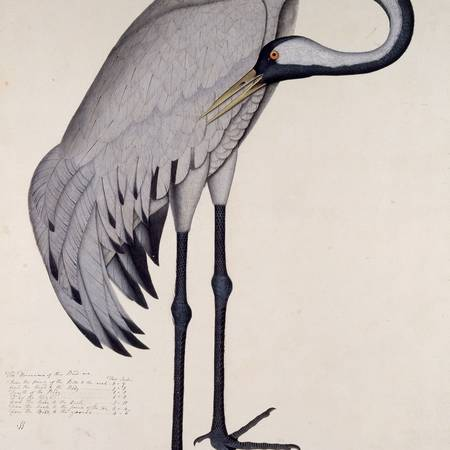 Shaikh Zain Ud-Din_Common Crane_Bodleian Libraries University of Oxford_© Ashmolean Museum University of Oxford.jpg