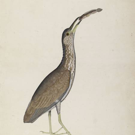 Shaikh Zain Ud-Din_Immature Night Heron_Bodleian Libraries University of Oxford_© Ashmolean Museum University of Oxford.jpg